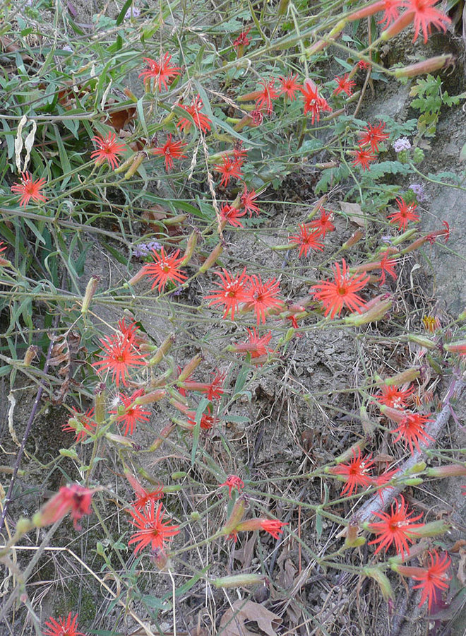 Silene laciniata ssp. laciniata - Indian Pink, Cardinal Catchfly (Plant)