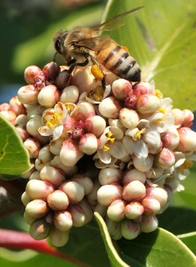 Rhus ovata - Sugar Bush (Plant)
