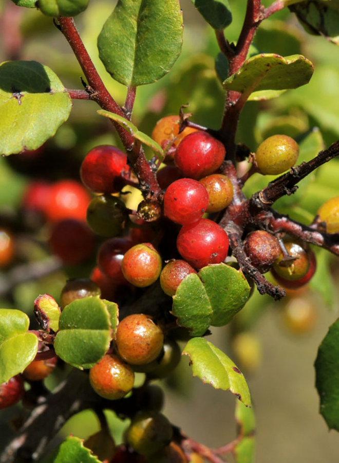Rhamnus ilicifolia - Hollyleaf Redberry, Evergreen Buckthorn (Plant)