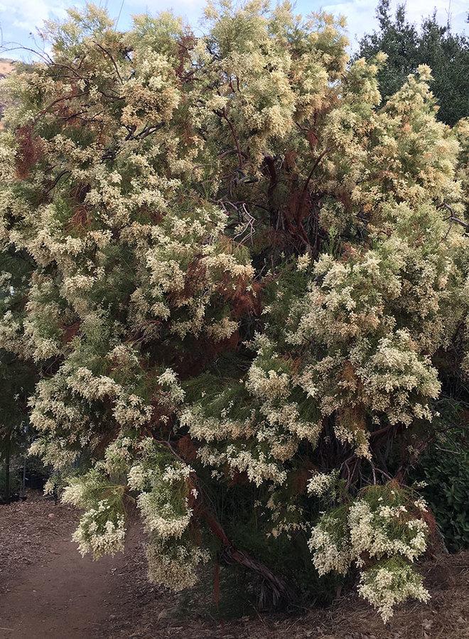 Adenostoma sparsifolium - Redshank, Ribbonwood (Plant)