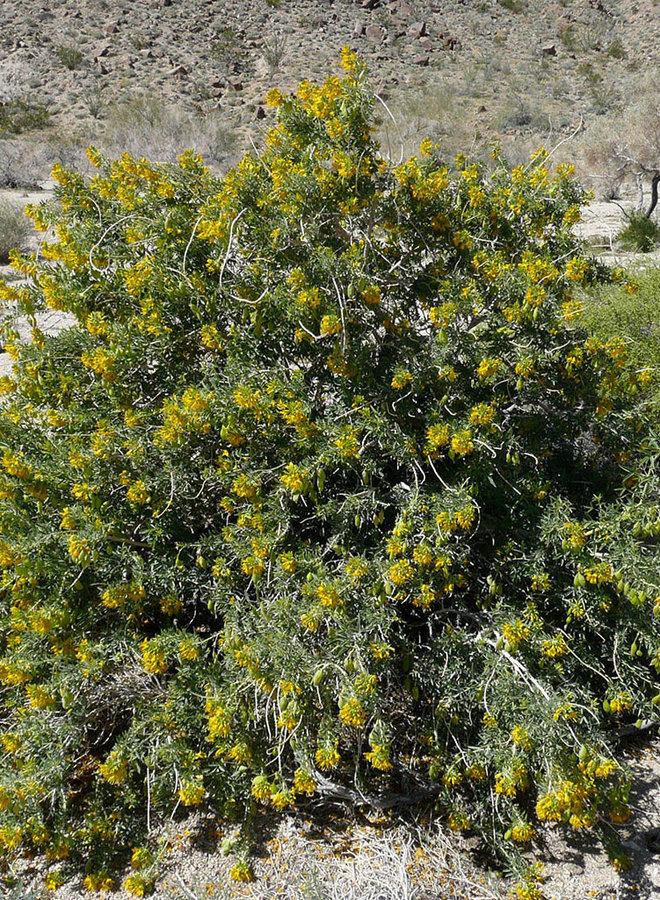 Peritoma arborea - Bladderpod (Plant)