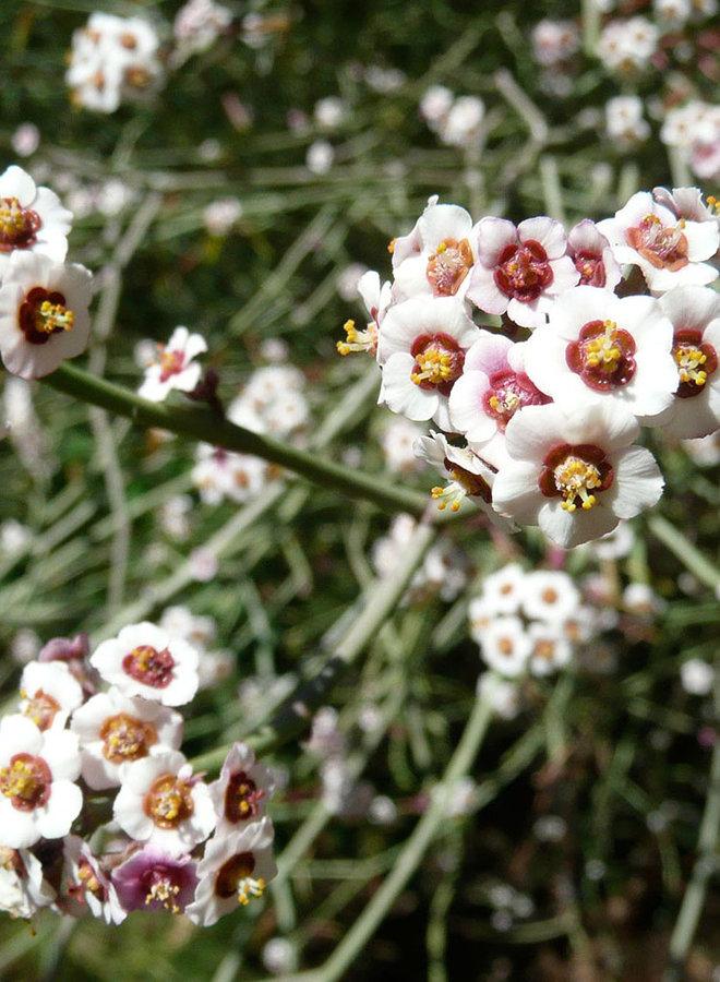 Euphorbia xanti - Baja Spurge (Plant)