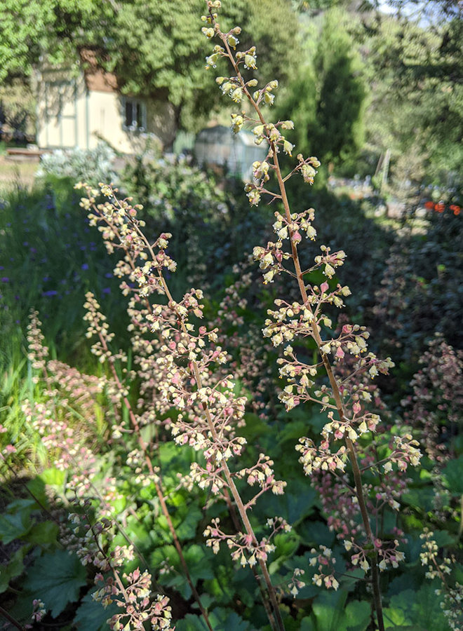 Heuchera maxima - Island Alumroot (Plant)
