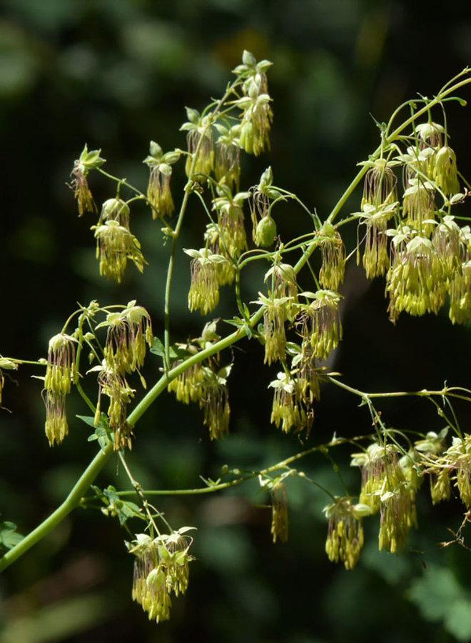 Thalictrum fendleri var. polycarpum - Meadow Rue (Plant)