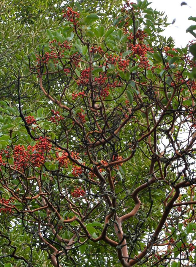 Arbutus menziesii - Madrone (Plant)