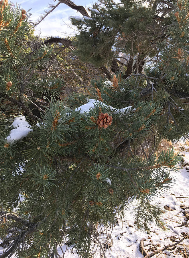 Pinus monophylla - Single-Leaf Pinyon (Seed)