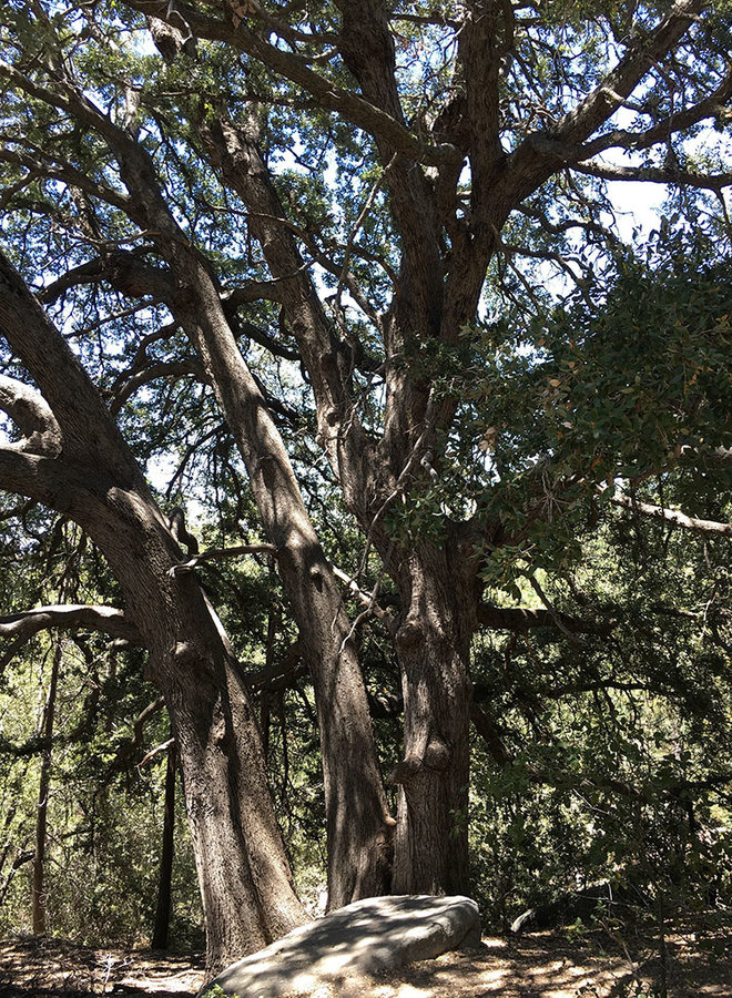 Quercus chrysolepis - Canyon Live or Maul Oak (Plant)