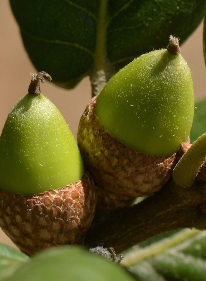 Quercus agrifolia var. agrifolia - Coast Live Oak or Encina (Plant)