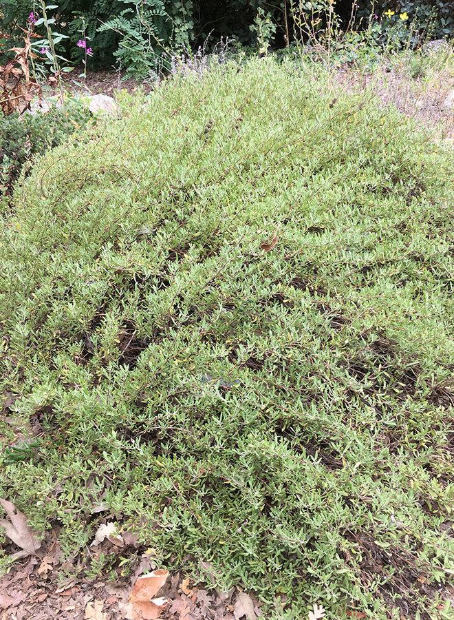 Salvia munzii 'Emerald Cascade' - Emerald Cascade Munz's Sage (Plant)