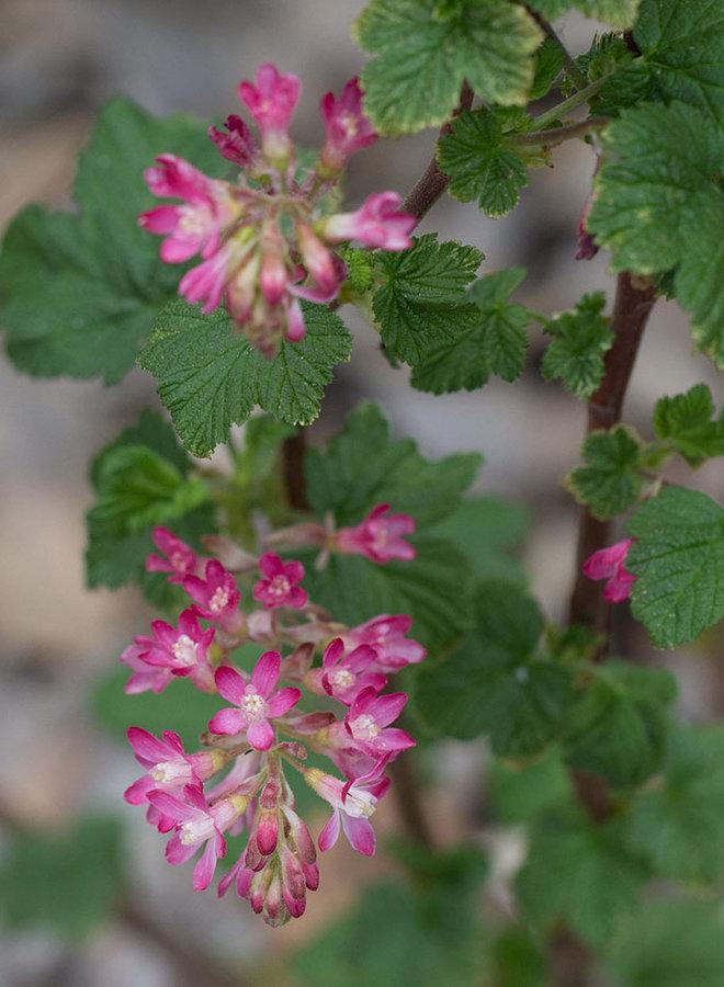 Ribes sanguineum var. glutinosum - Pink Flowering Currant, Blood Currant (Plant)