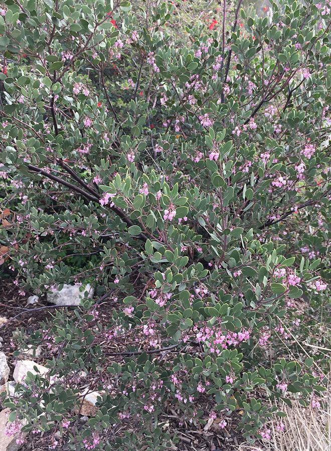 Arctostaphylos bakeri 'Louis Edmunds' - Louis Edmunds Baker's Manzanita (Plant)