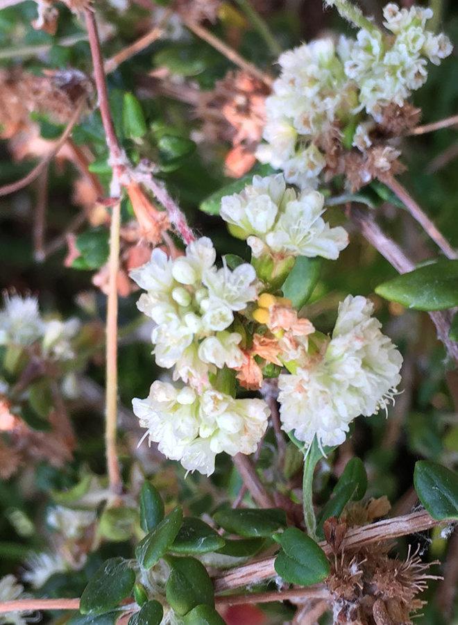 Eriogonum parvifolium - Sea Cliff Buckwheat (Plant)