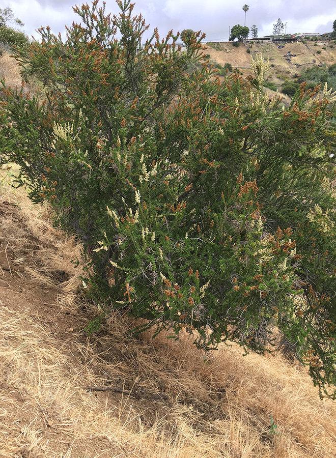 Adenostoma fasciculatum var. fasciculatum - Chamise (Plant)
