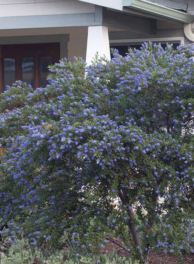 Ceanothus 'Concha' - Concha Ceanothus (Plant)