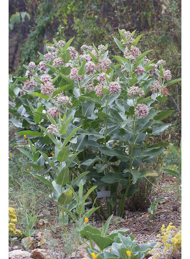 Asclepias speciosa - Showy Milkweed (Plant)