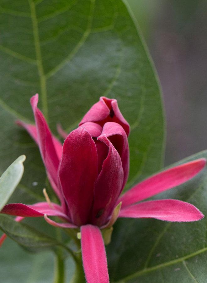 Calycanthus occidentalis - Spice Bush (Plant)