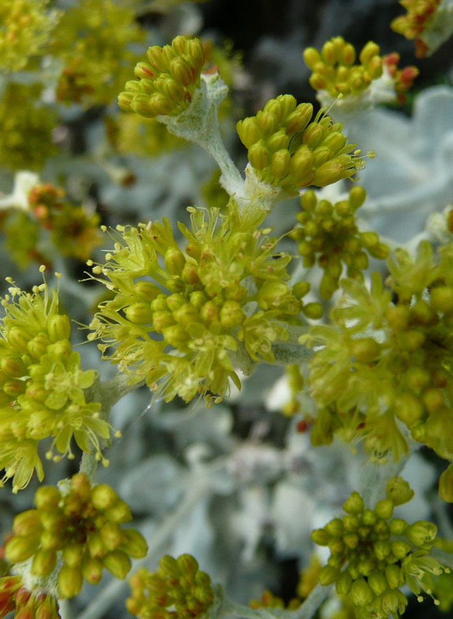Eriogonum crocatum - Conejo Buckwheat (Plant)
