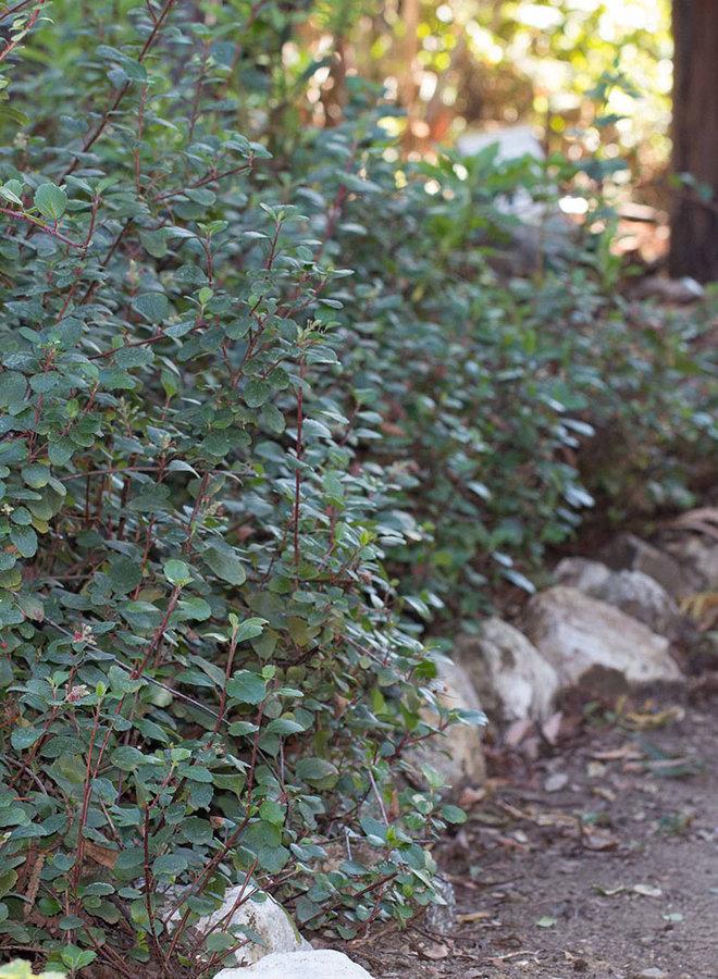 Ribes viburnifolium - Evergreen Currant, Catalina Perfume (Plant)