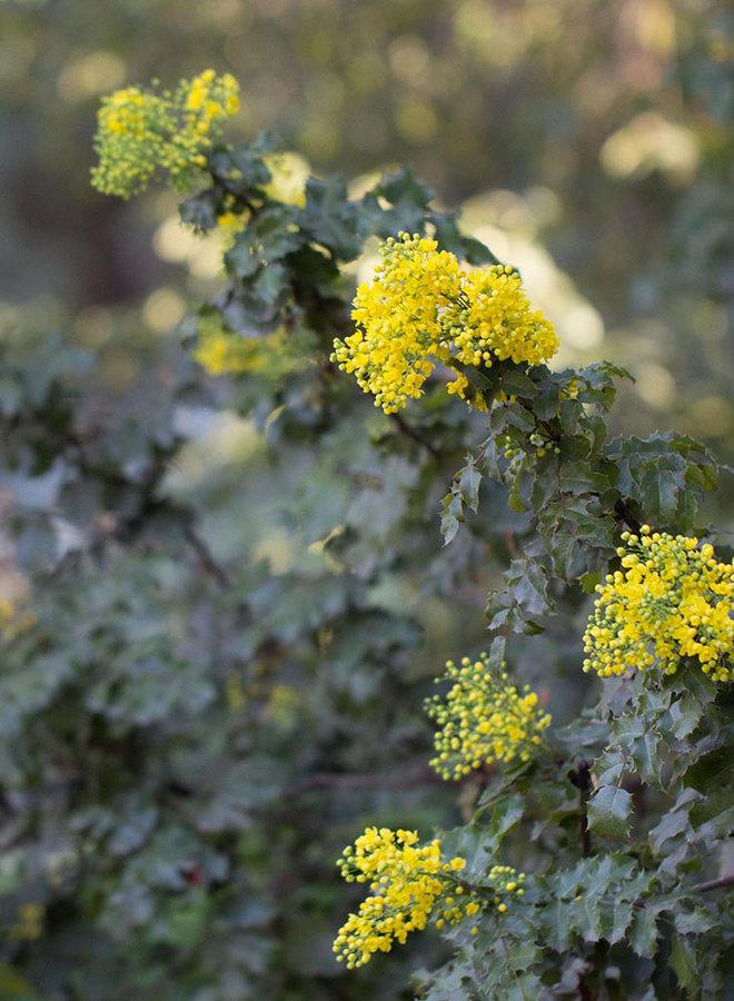 Berberis aquifolium 'Golden Abundance' - Golden Abundance Oregon Grape (Plant)