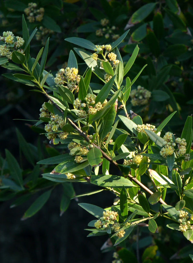 Umbellularia californica - California Bay (Plant)