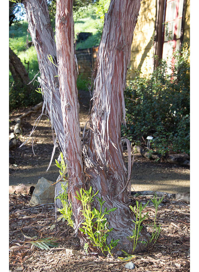 Lyonothamnus floribundus ssp. aspleniifolius - Santa Cruz Island Ironwoood (Plant)