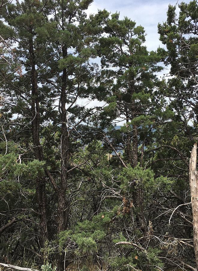 Hesperocyparis nevadensis - Piute Cypress (Plant)