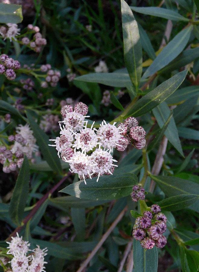 Baccharis salicifolia - Mulefat (Plant)