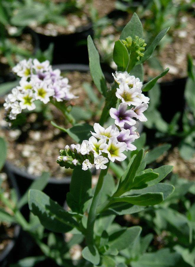 Heliotropium curassavicum var. oculatum - Salt Heliotrope (Plant)