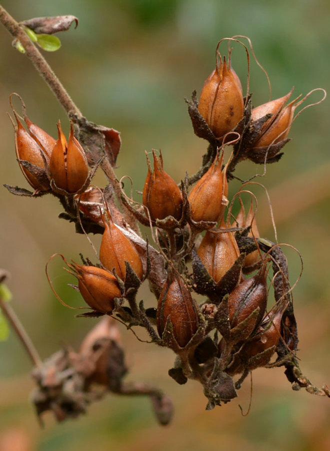 Keckiella cordifolia - Heart-Leaved Keckiella (Plant)