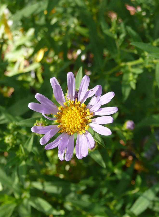 Symphyotrichum chilense 'Purple Haze' - Purple Haze Coast Aster (Plant)