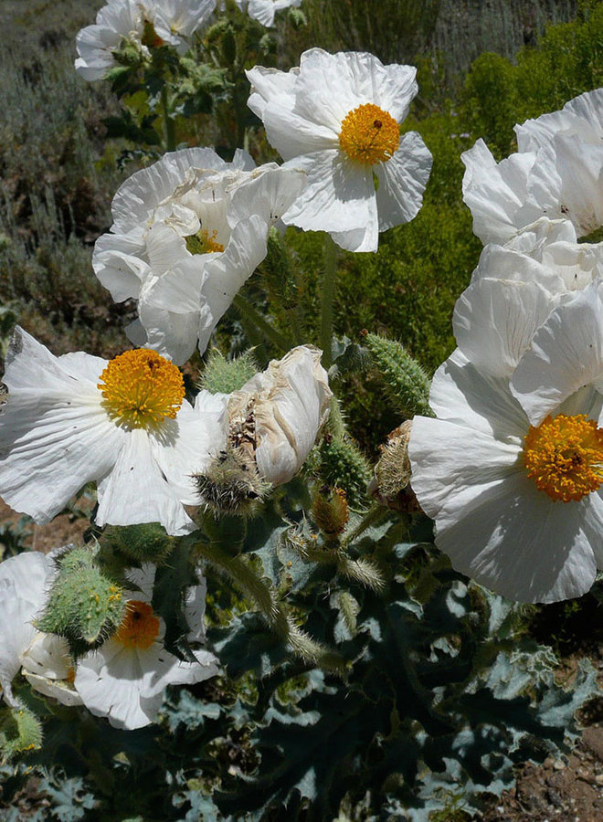 Argemone munita - Prickly Poppy, Chicalote (Seed)