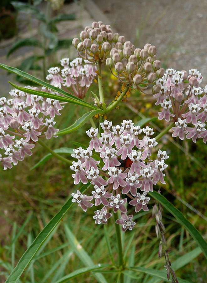 Asclepias fascicularis - Narrow Leaf Milkweed (Seed)