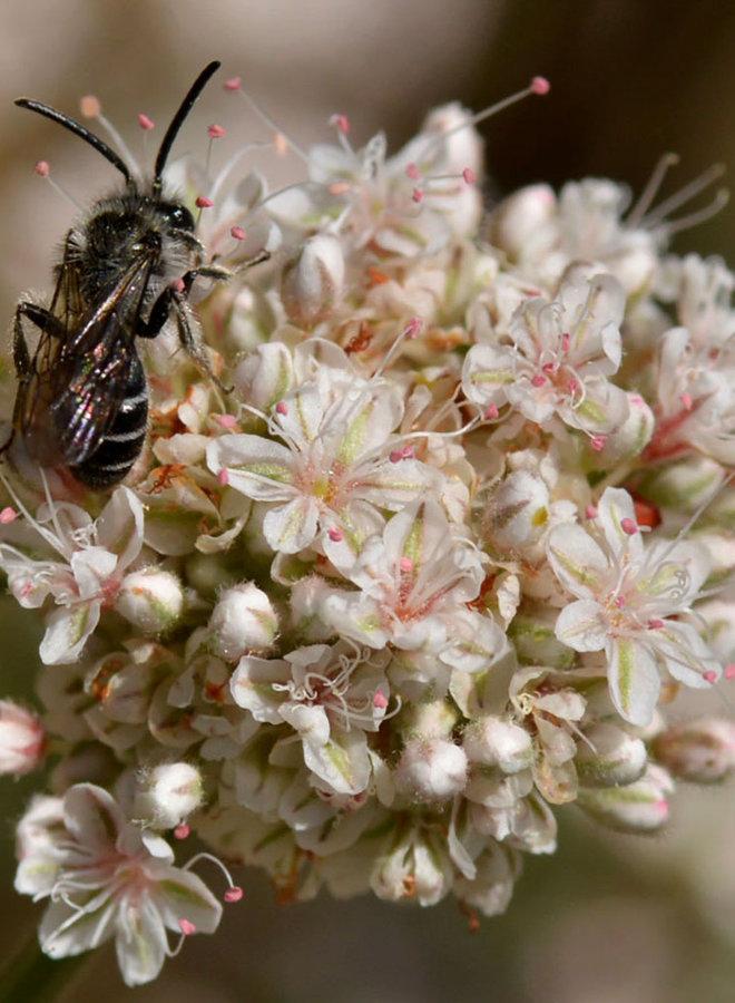 Eriogonum fasciculatum - California Buckwheat (Seed)