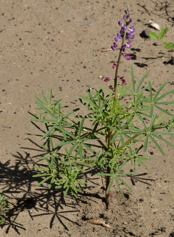 Lupinus truncatus - Collared Annual Lupine (Seed)