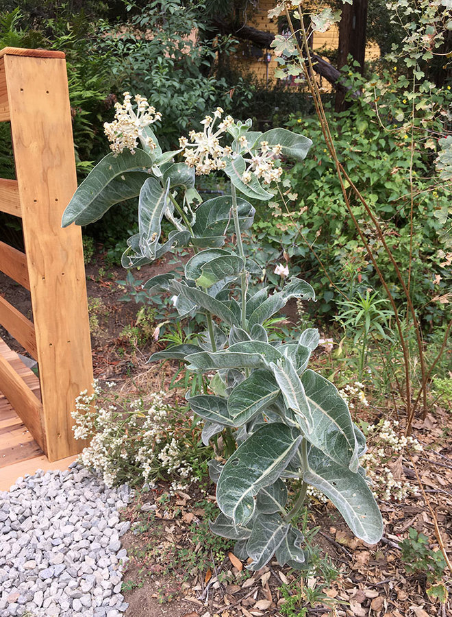 Asclepias eriocarpa - Kotolo or Indian Milkweed (Seed)