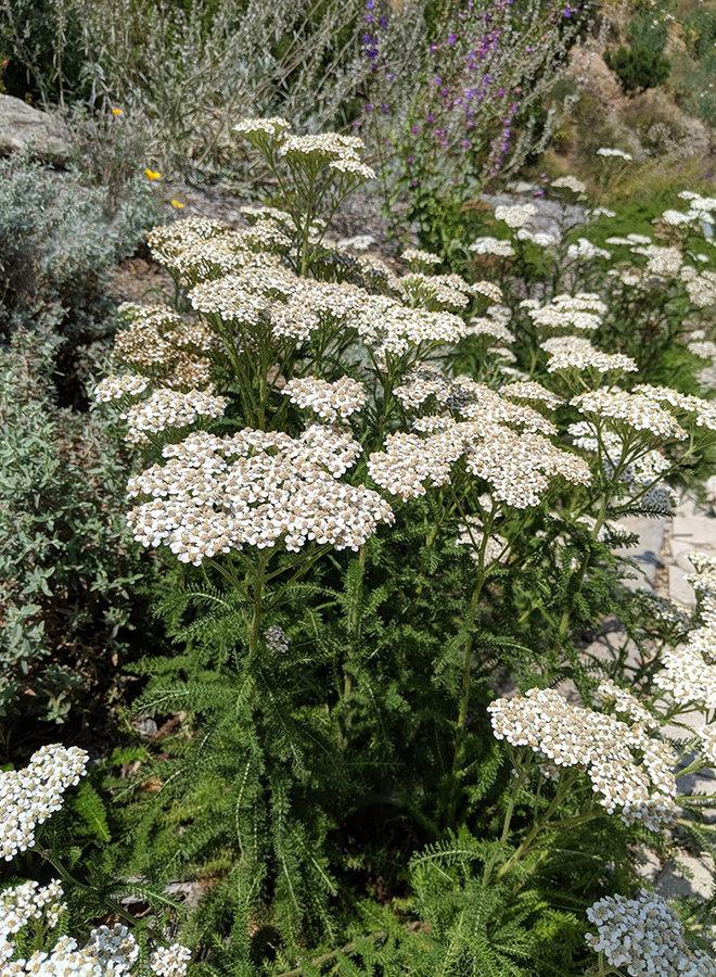 Achillea millefolium - Yarrow (Seed)