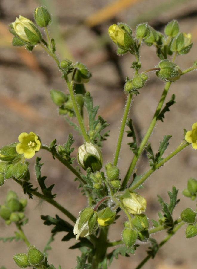 Emmenanthe penduliflora - Whispering Bells (Seed)