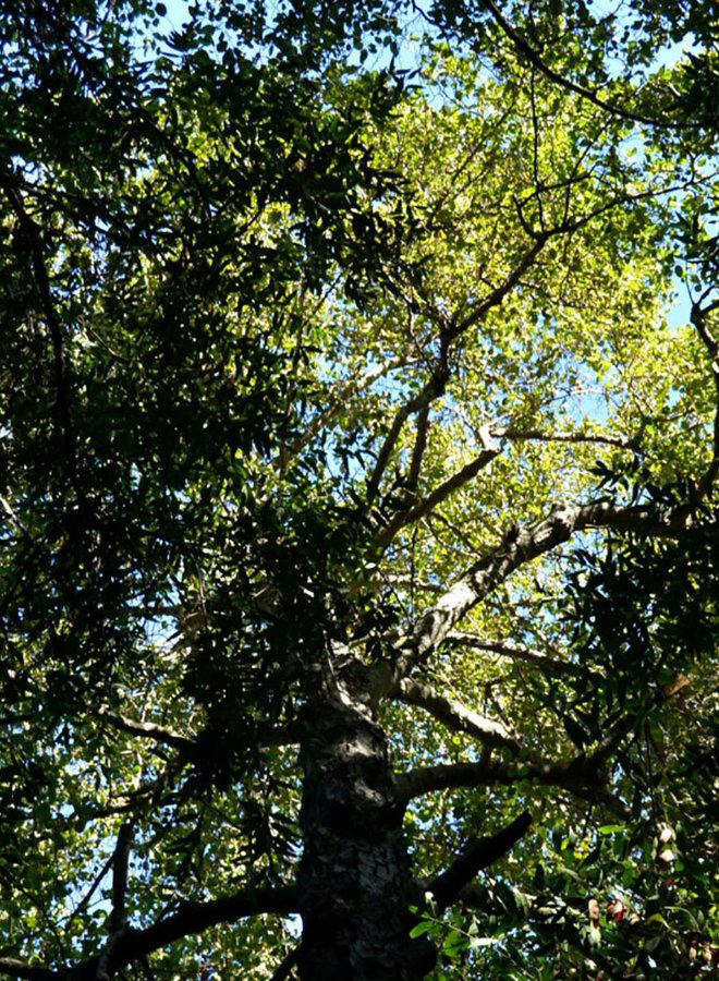 Alnus rhombifolia - White Alder (Seed)