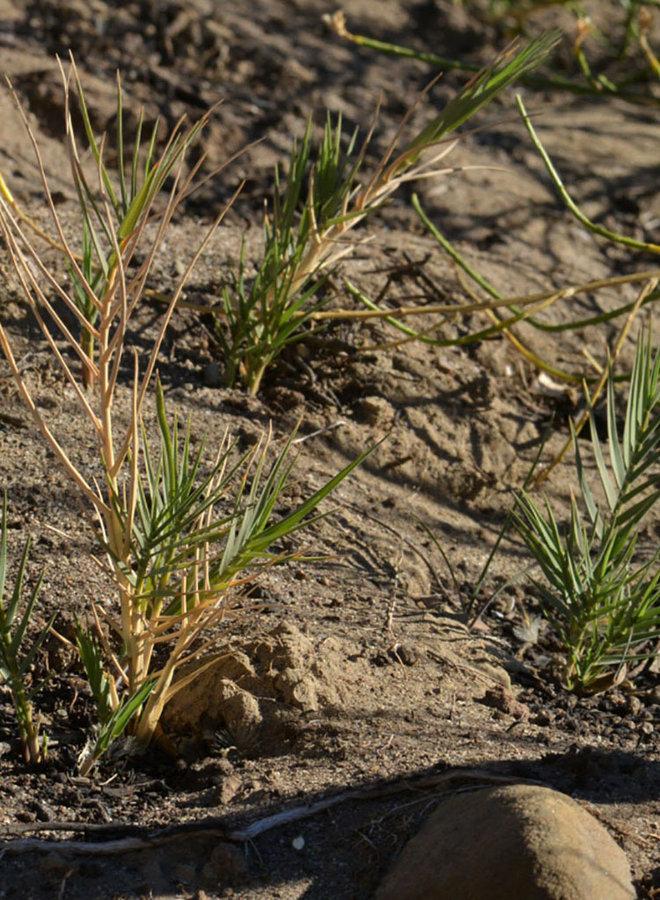 Distichlis spicata ssp. stricta - Salt Grass (Seed)