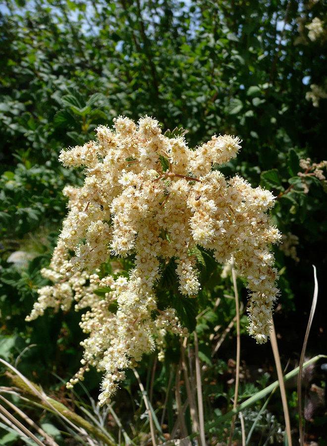 Holodiscus discolor - Cream Bush, Ocean Spray (Seed)