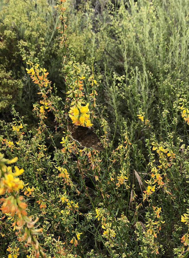 Acmispon glaber - Deerweed (Seed)
