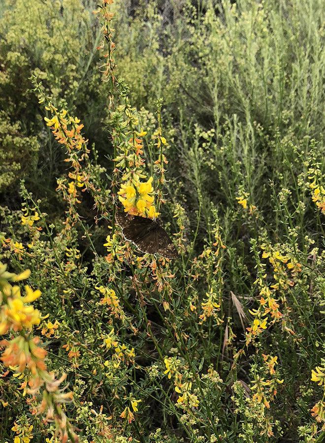 Acmispon glaber var. brevialatus - Short Winged Deerweed (Seed)