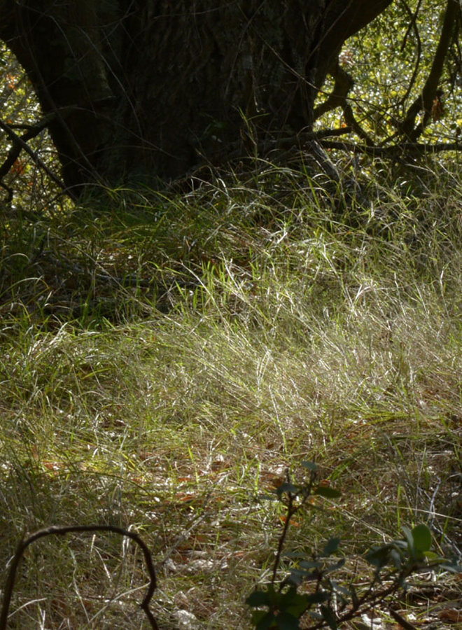Agrostis pallens - Bent Grass (Seed)
