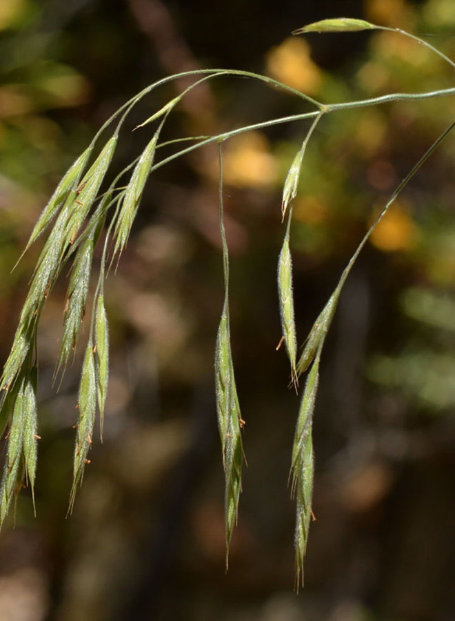 Bromus carinatus - California Bromegrass (Seed)