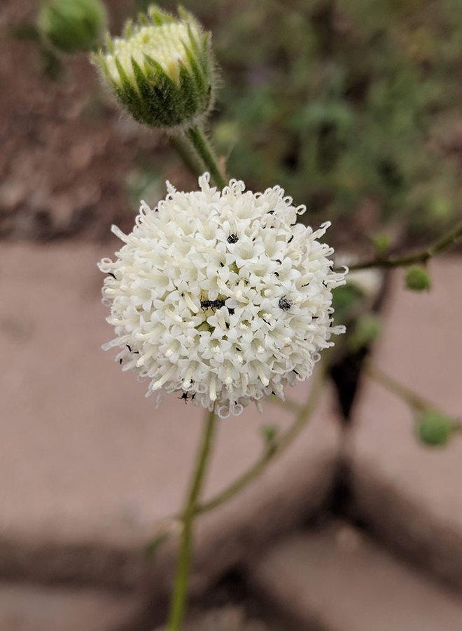 Chaenactis artemisiifolia - White Pincushion (Seed)