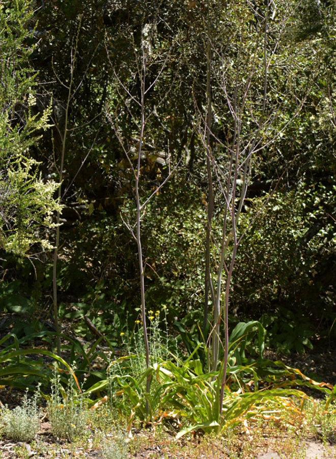 Chlorogalum pomeridianum - Soap Plant (Seed)