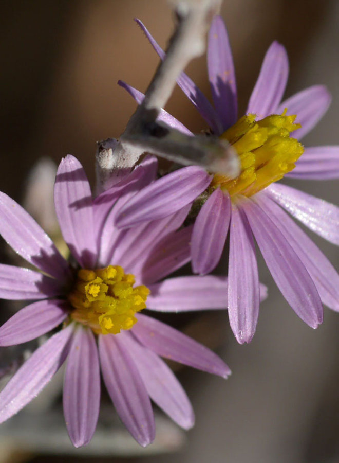 Corethrogyne filaginifolia - California Aster (Seed)