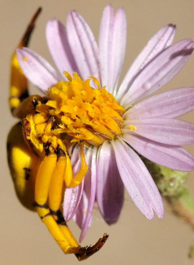 Corethrogyne filaginifolia - Common Sandaster, California Aster (Seed)