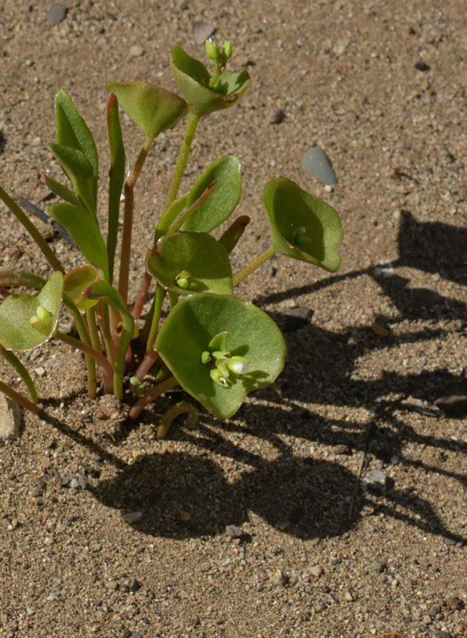 Claytonia perfoliata - Miner's Lettuce (Seed)
