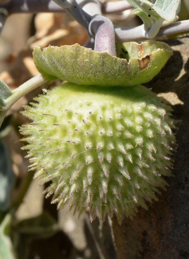 Datura wrightii - Sacred Datura, Jimsonweed (Seed)
